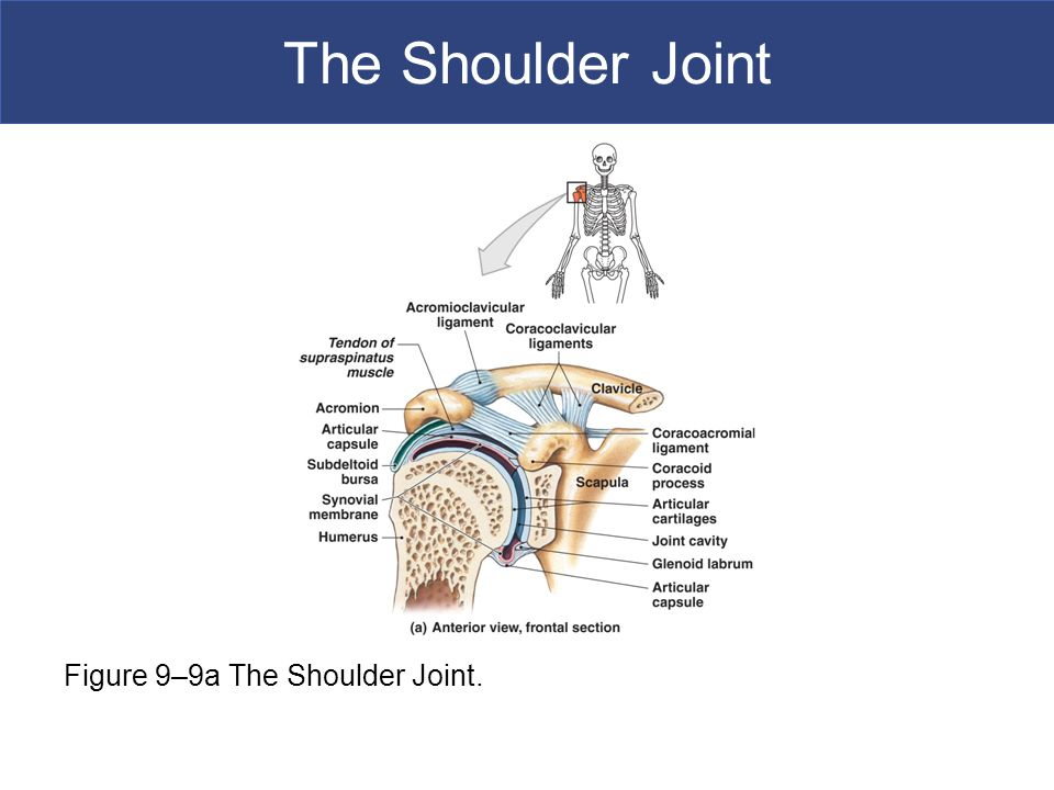 The Shoulder Joint Figure 9–9a The Shoulder Joint.