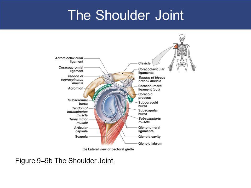 The Shoulder Joint Figure 9–9b The Shoulder Joint.