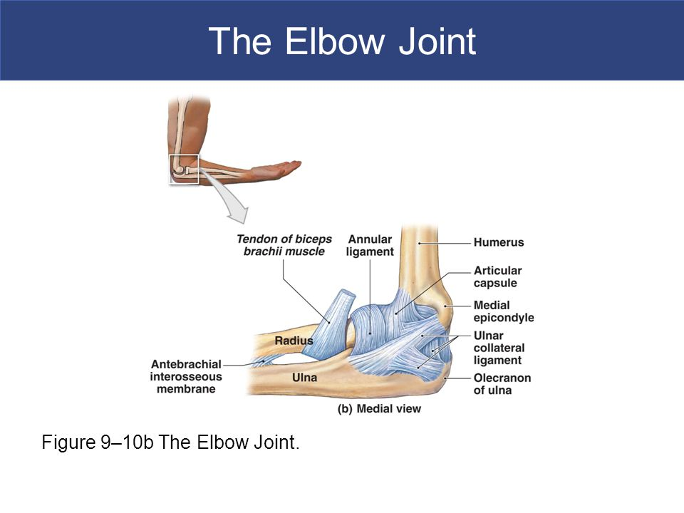The Elbow Joint Figure 9–10b The Elbow Joint.