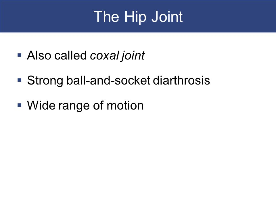 The Hip Joint Also called coxal joint