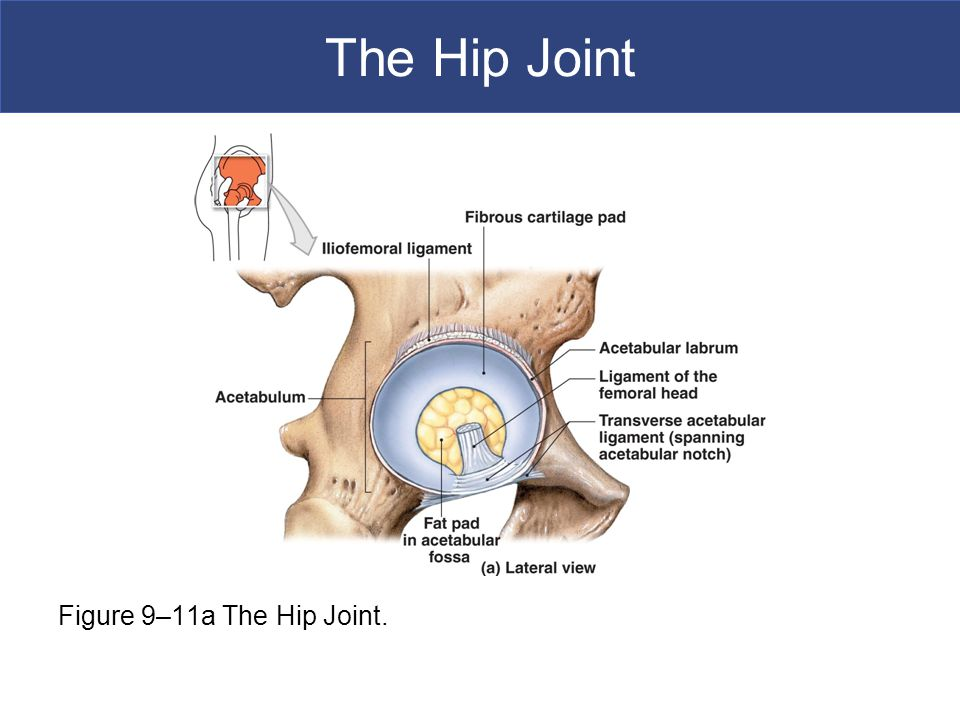 The Hip Joint Figure 9–11a The Hip Joint.
