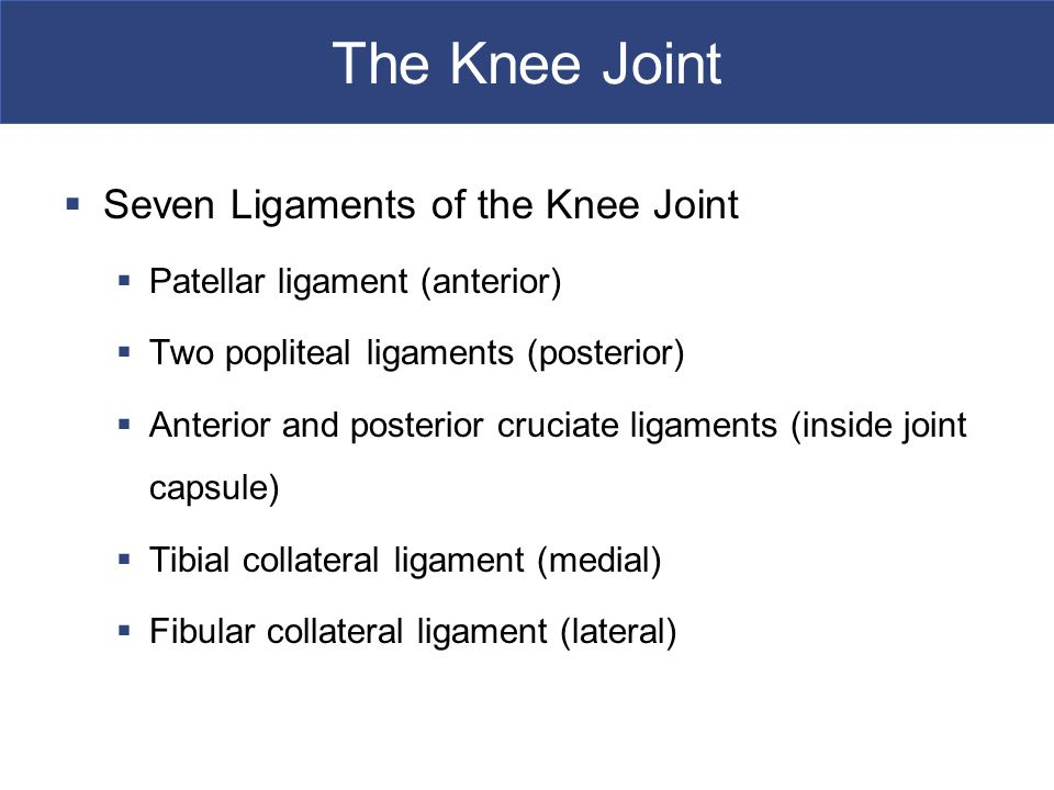 The Knee Joint Seven Ligaments of the Knee Joint