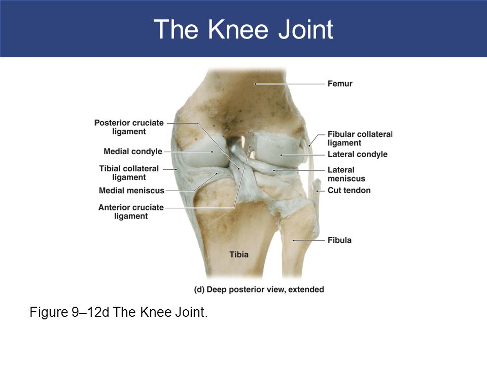 The Knee Joint Figure 9–12d The Knee Joint.