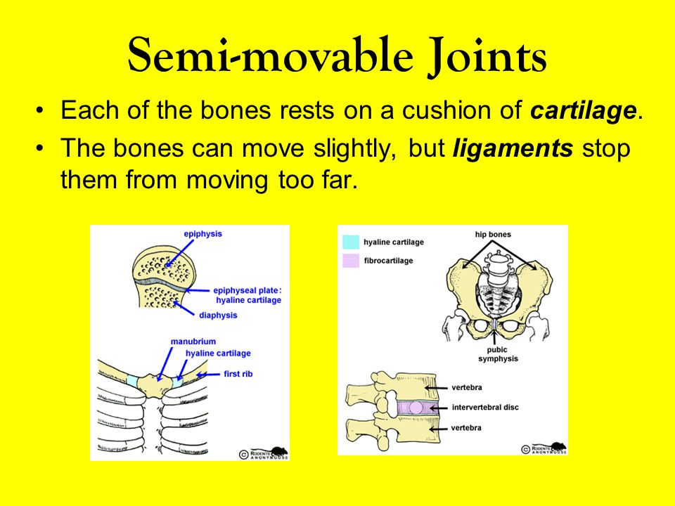 Semi-movable Joints Each of the bones rests on a cushion of cartilage.