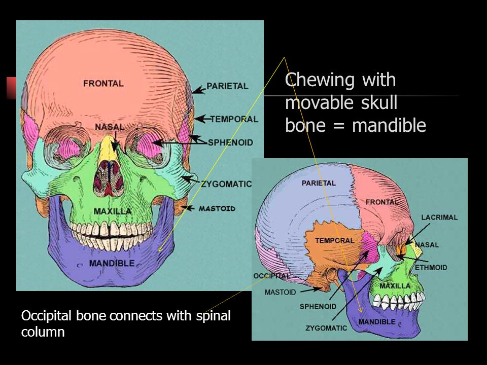 Chewing with movable skull bone = mandible
