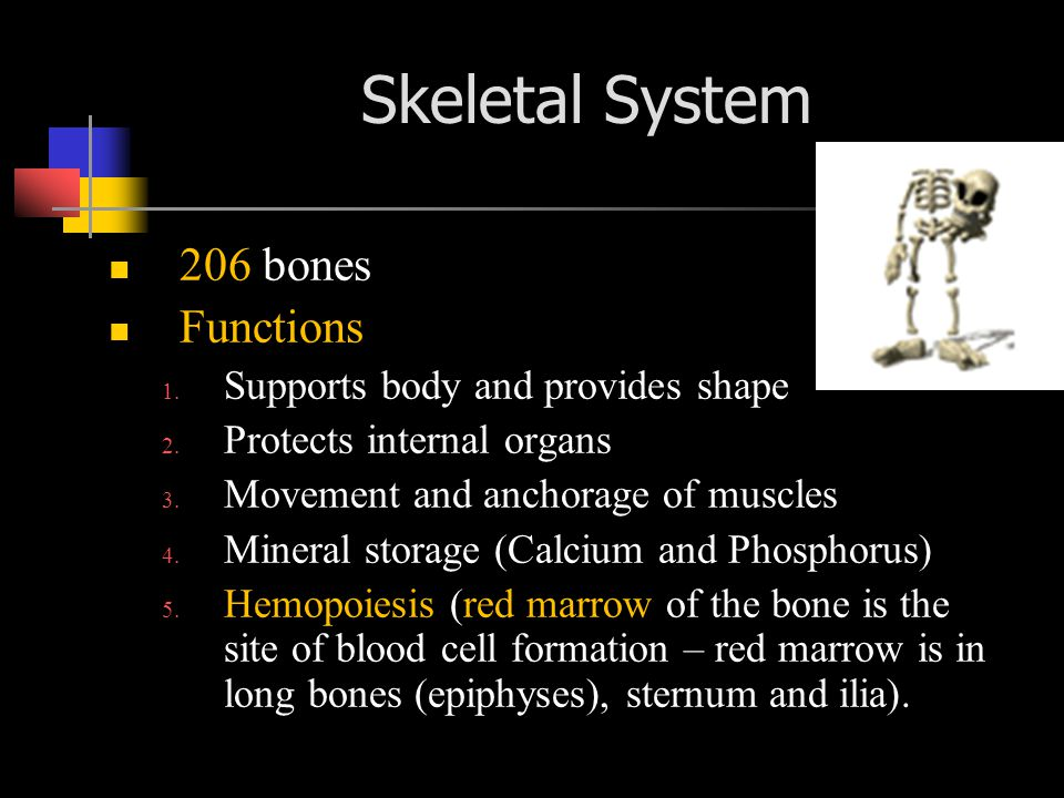 Skeletal System 206 bones Functions Supports body and provides shape