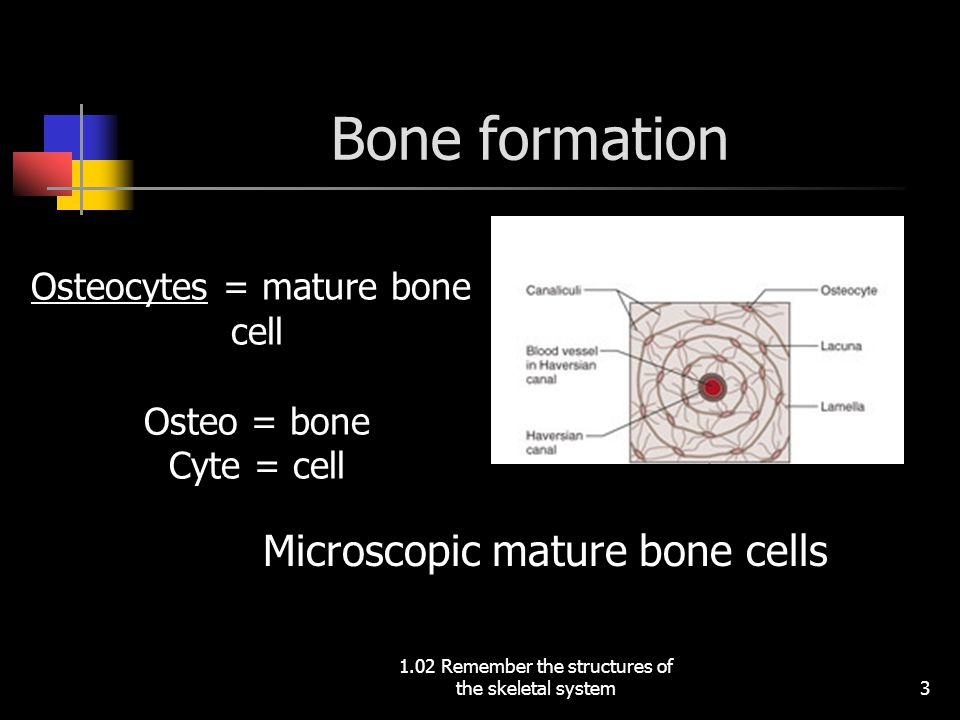 Microscopic mature bone cells