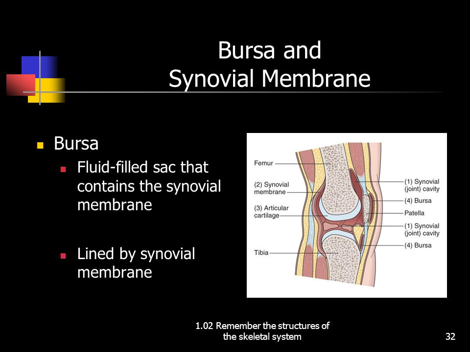 Bursa and Synovial Membrane