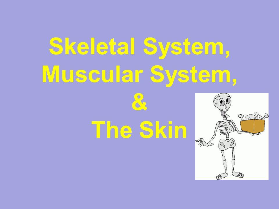 Skeletal System, Muscular System, & The Skin