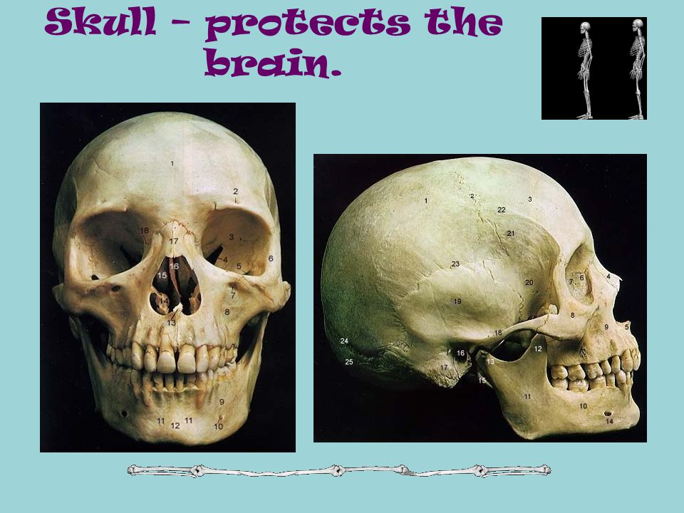 Skull – protects the brain.