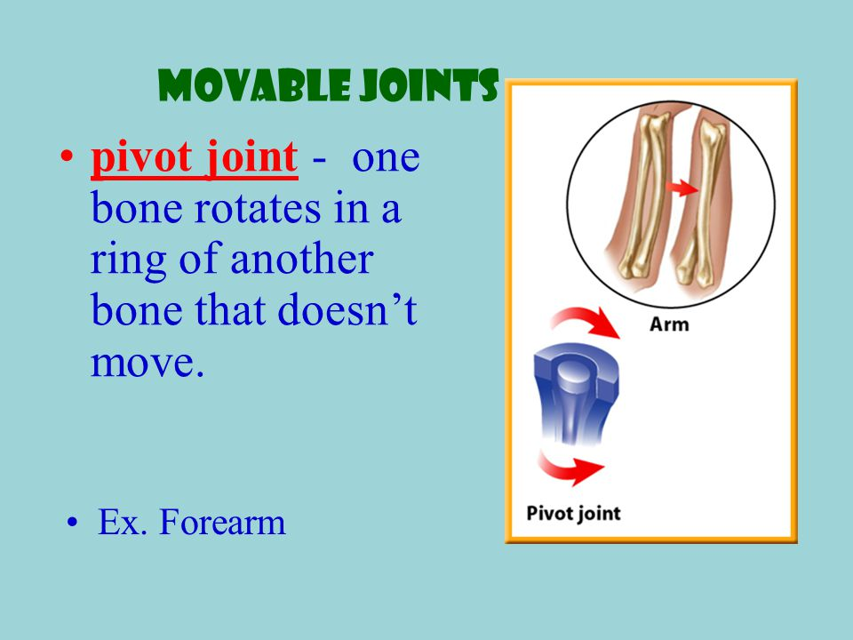 Movable Joints pivot joint - one bone rotates in a ring of another bone that doesn't move.