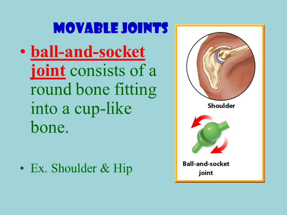 Movable Joints ball-and-socket joint consists of a round bone fitting into a cup-like bone.