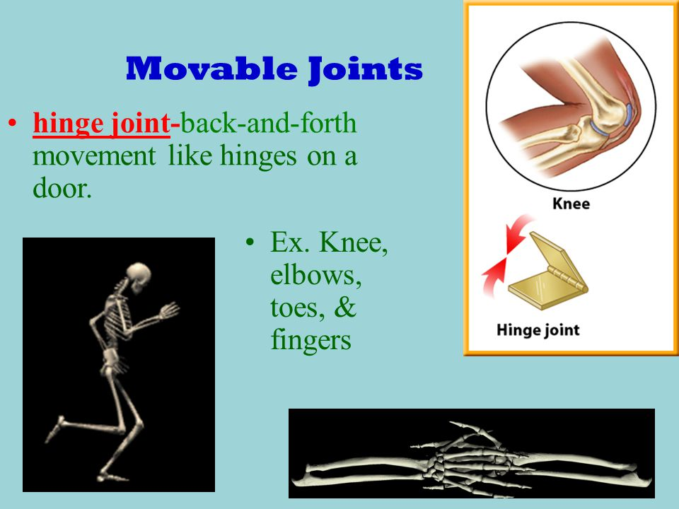 Movable Joints hinge joint-back-and-forth movement like hinges on a door.