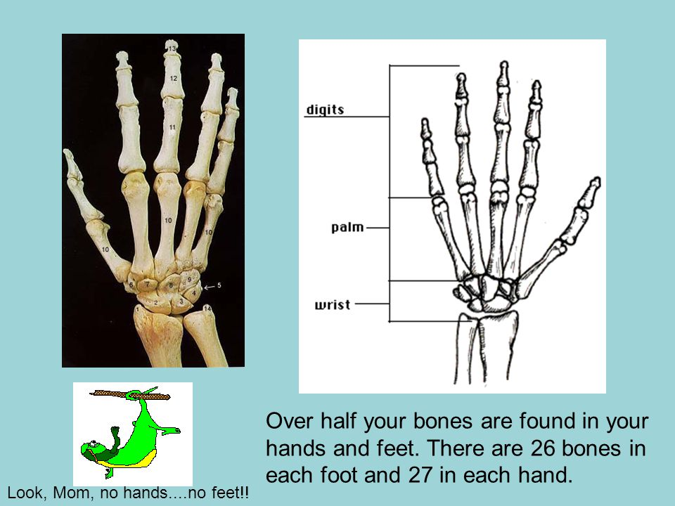 Over half your bones are found in your hands and feet