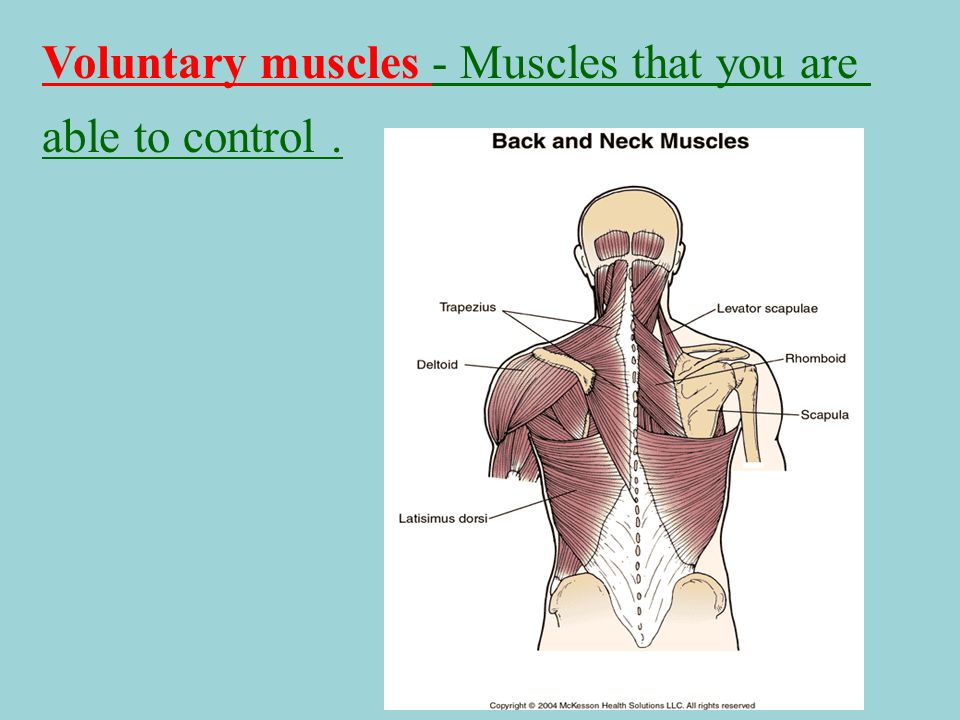 Voluntary muscles - Muscles that you are