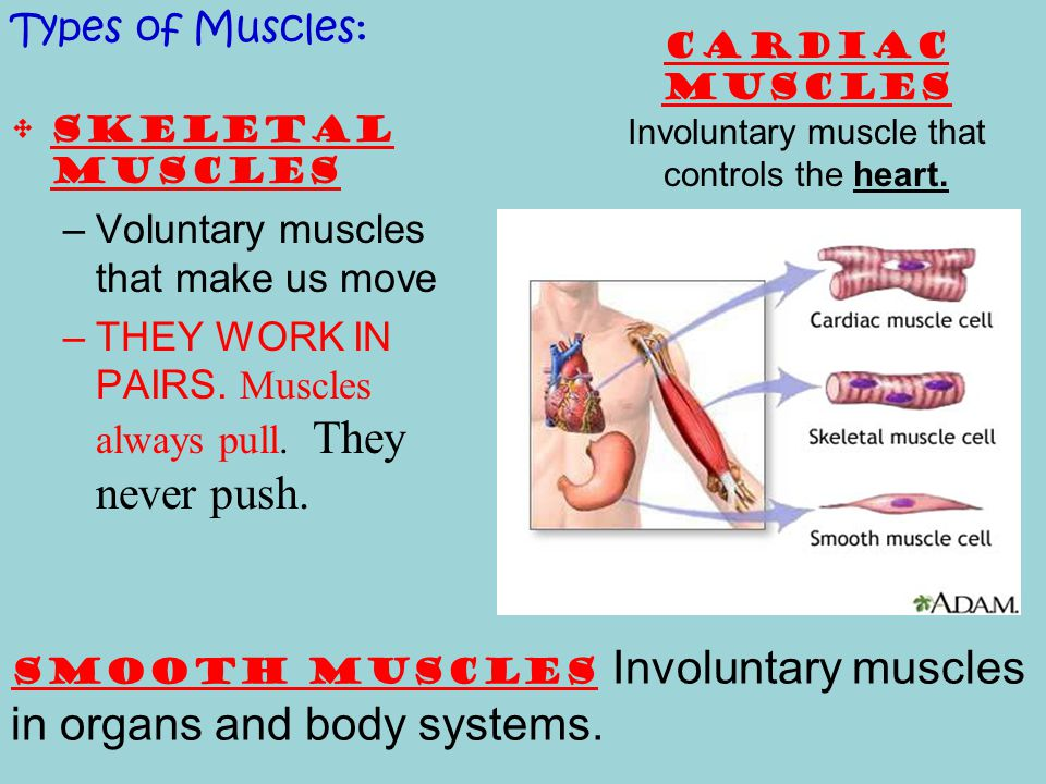 Cardiac muscles Involuntary muscle that controls the heart.