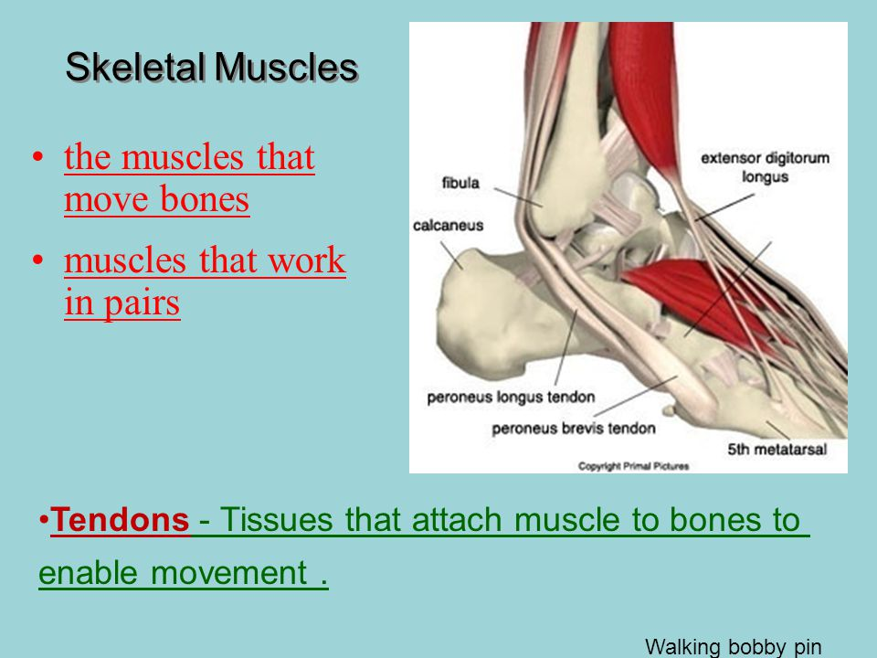 the muscles that move bones muscles that work in pairs