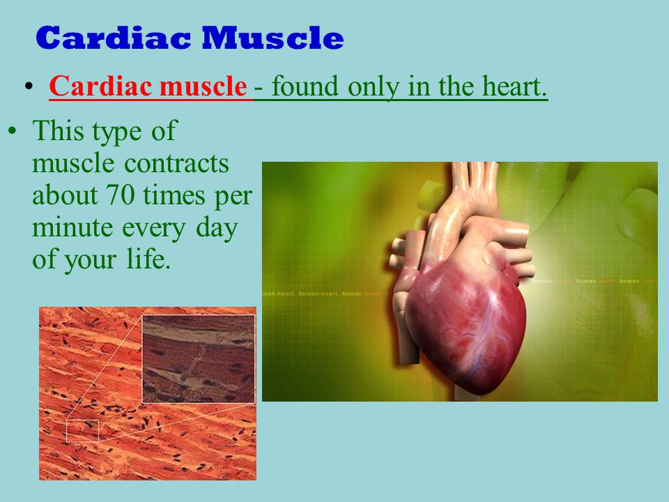 Cardiac Muscle Cardiac muscle - found only in the heart.