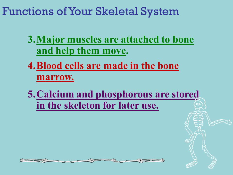 Functions of Your Skeletal System