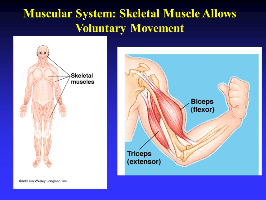 Muscular System: Skeletal Muscle Allows