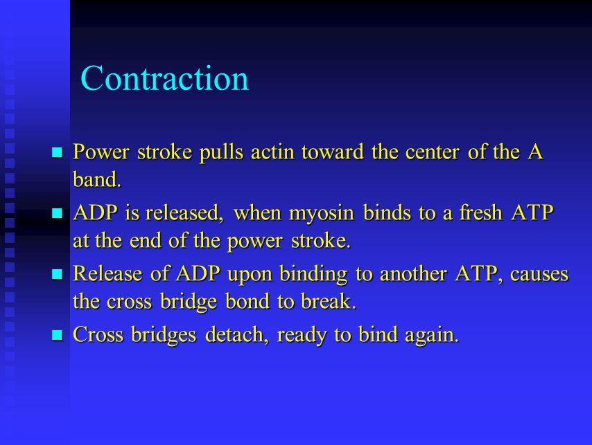 Contraction Power stroke pulls actin toward the center of the A band.