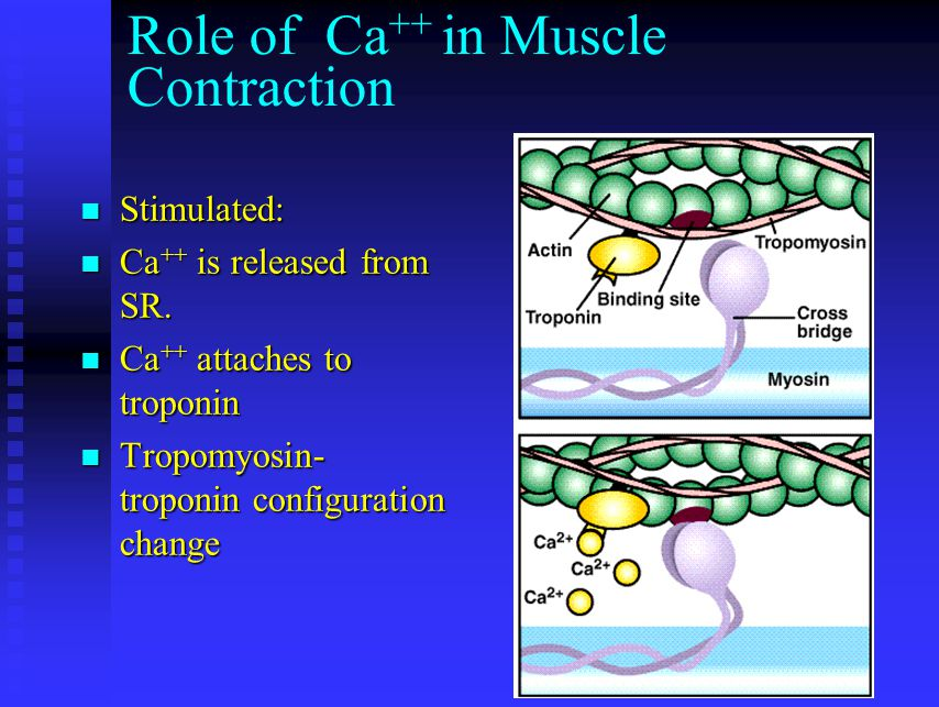Role of Ca++ in Muscle Contraction