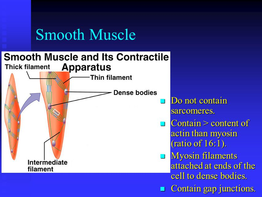 Smooth Muscle Do not contain sarcomeres.