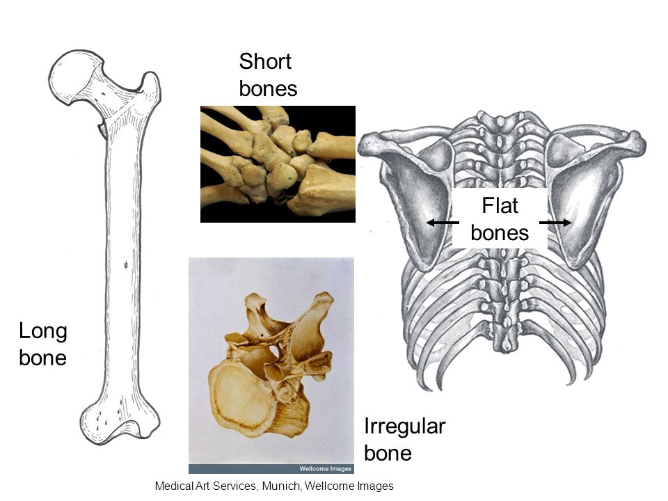 Short bones Flat bones Long bone Irregular bone