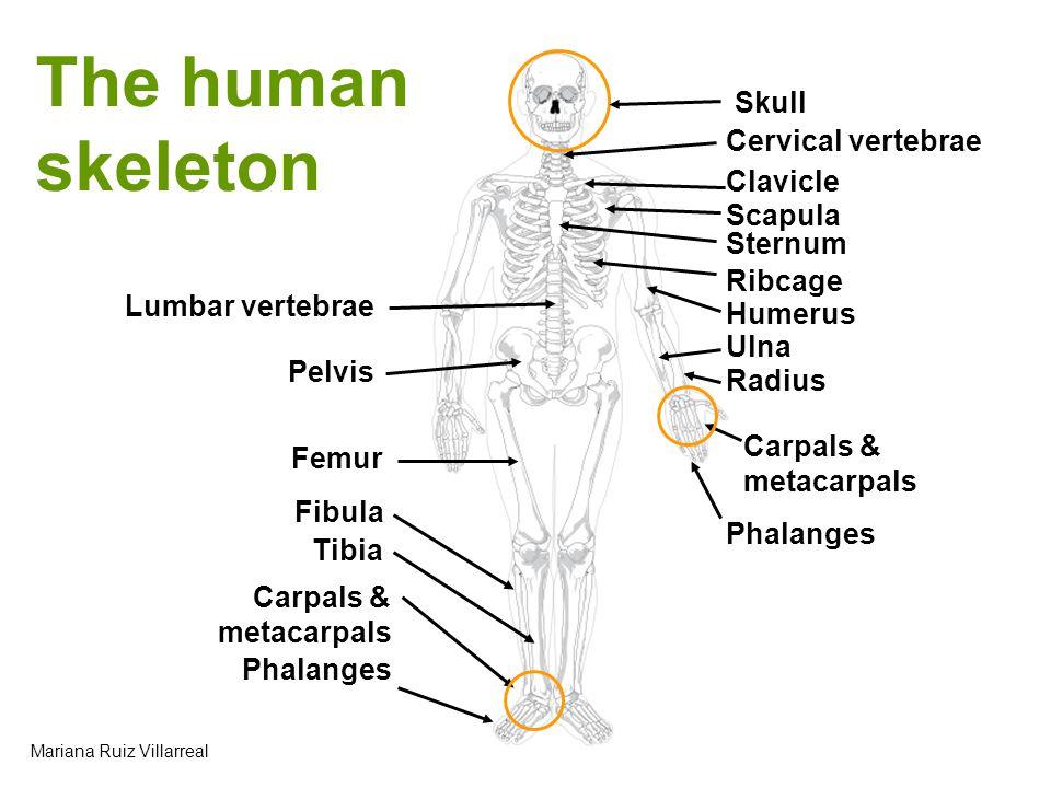 The human skeleton Skull Cervical vertebrae Clavicle Scapula Sternum