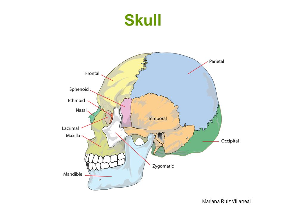 Skull Mariana Ruiz Villarreal