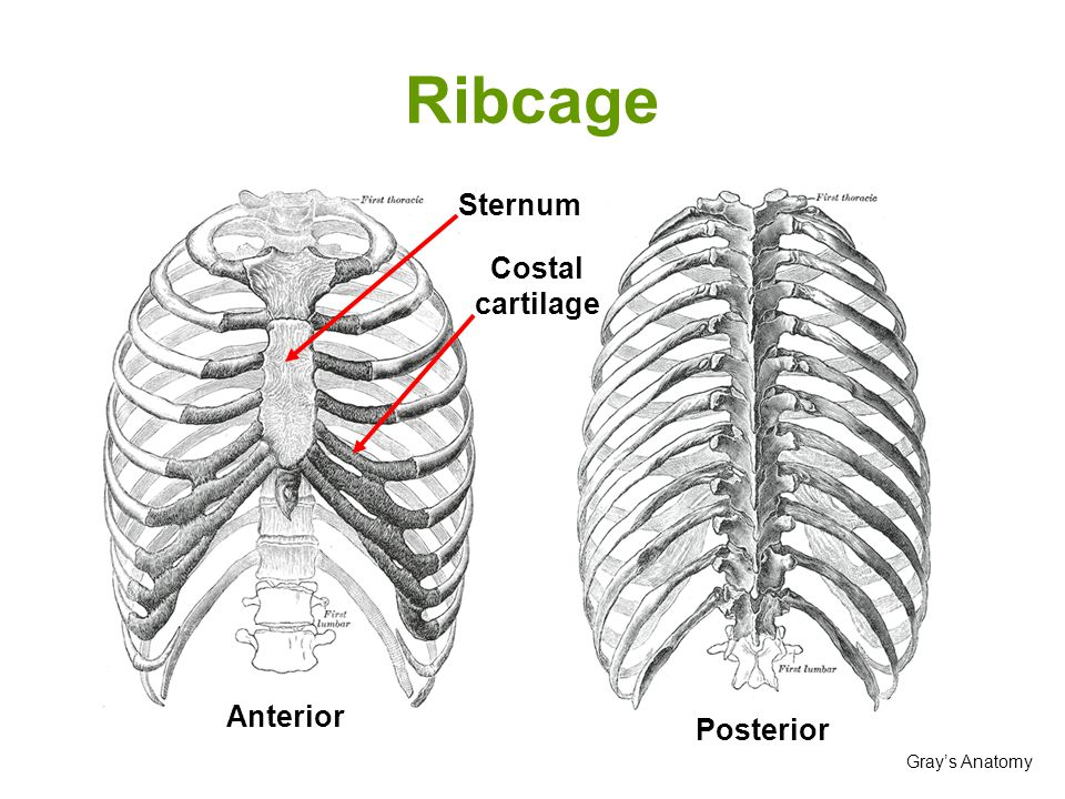 Ribcage Sternum Costal cartilage Anterior Posterior Gray's Anatomy