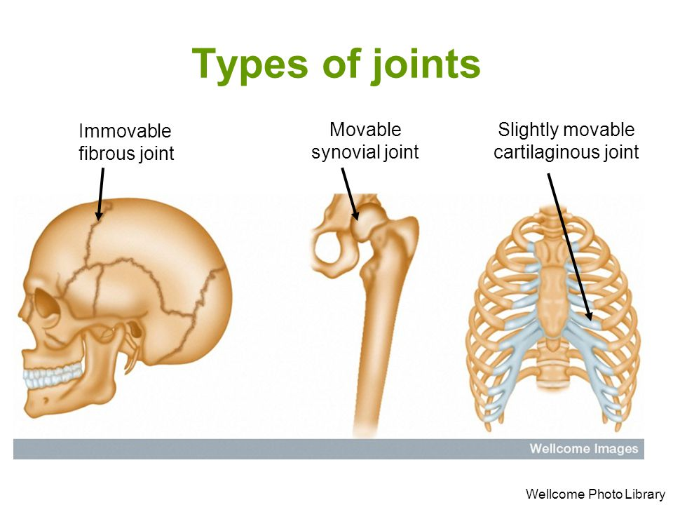 Types of joints Immovable fibrous joint Movable synovial joint