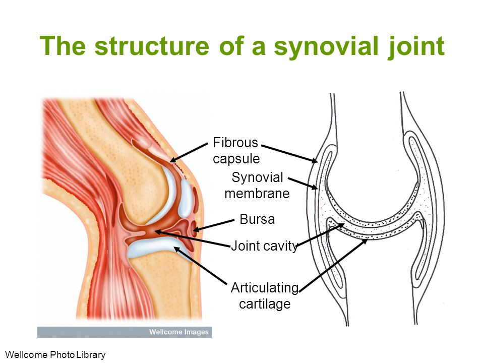 The structure of a synovial joint