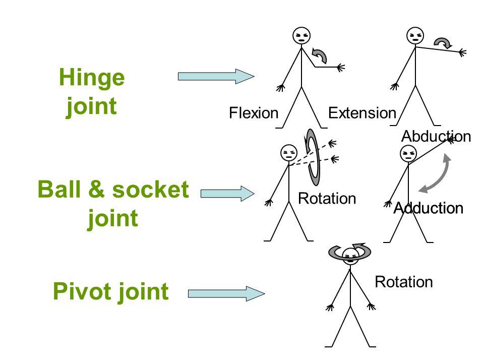 Hinge joint Ball & socket joint Pivot joint
