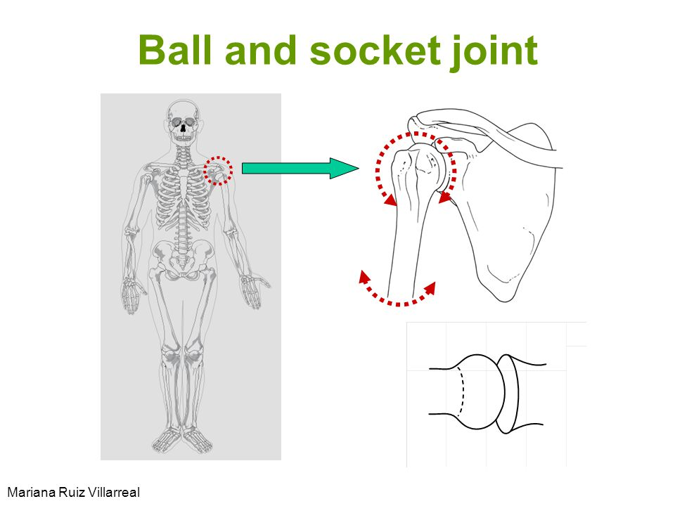 Ball and socket joint Mariana Ruiz Villarreal