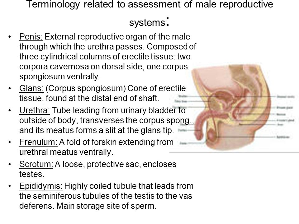 Terminology related to assessment of male reproductive systems: