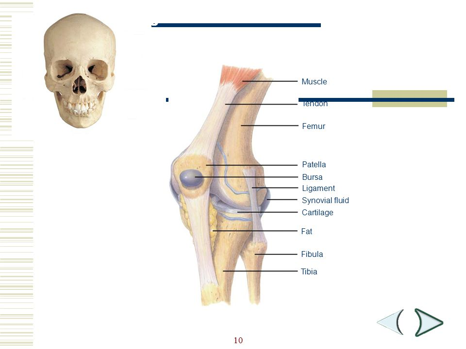 Figure 36-5 Knee Joint Section 36-1 10 Muscle Tendon Femur Patella