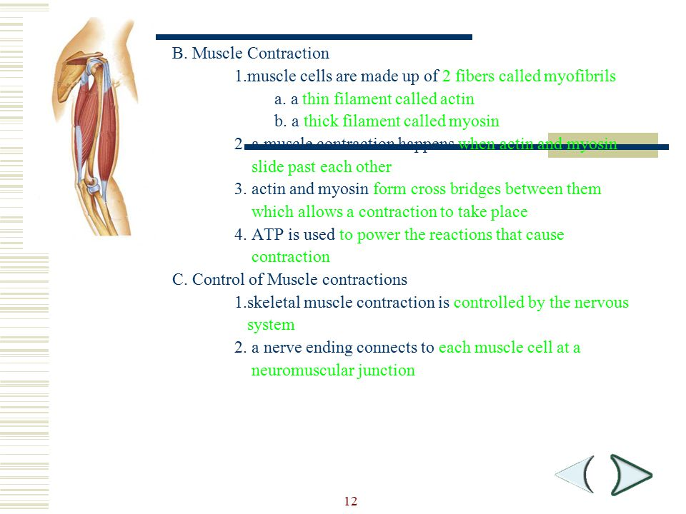 Section Outline B. Muscle Contraction