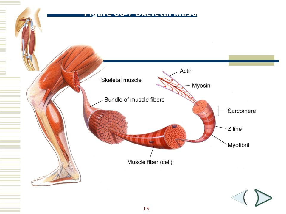 Figure 36-7 Skeletal Muscle Structure