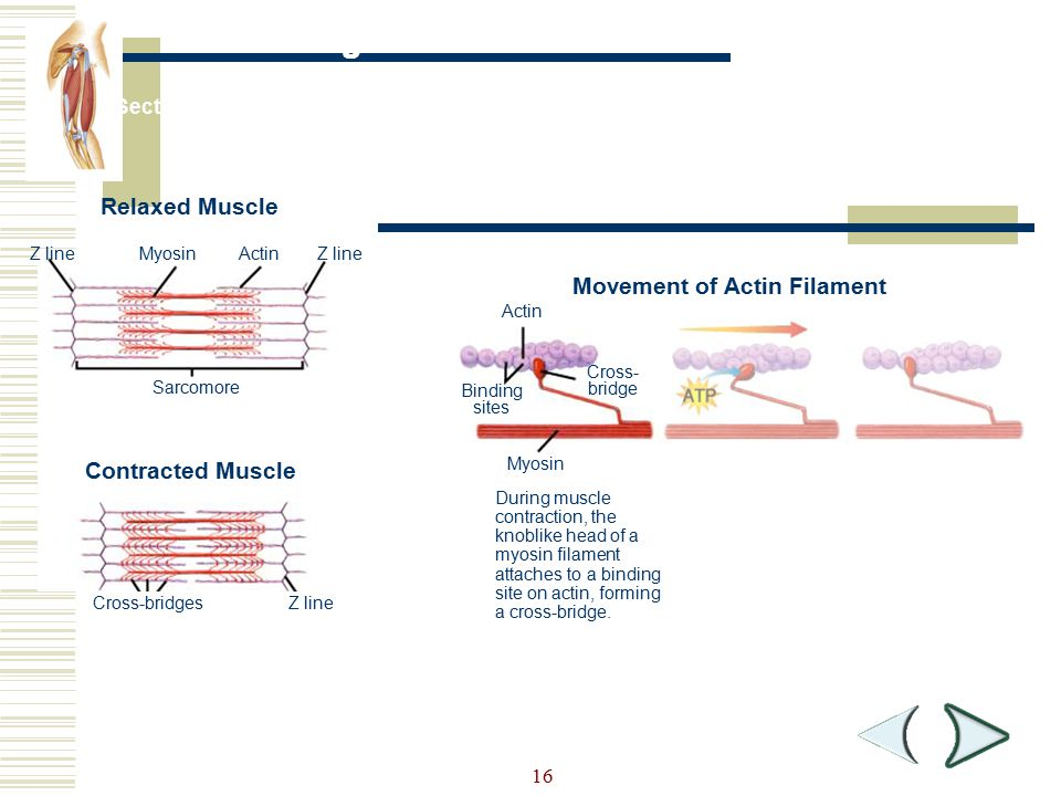 Figure 36-8 Muscle Contraction