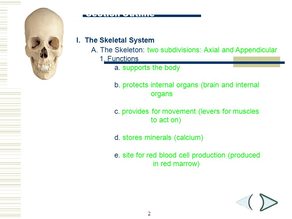 Section Outline I. The Skeletal System