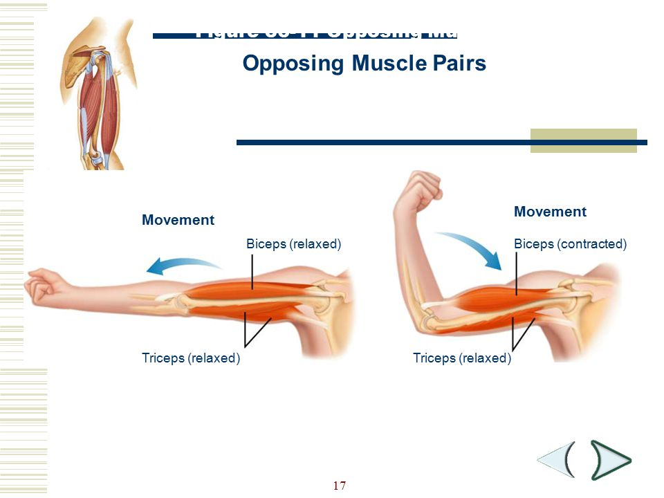 Opposing Muscle Pairs Figure 36-11 Opposing Muscle Pairs Movement