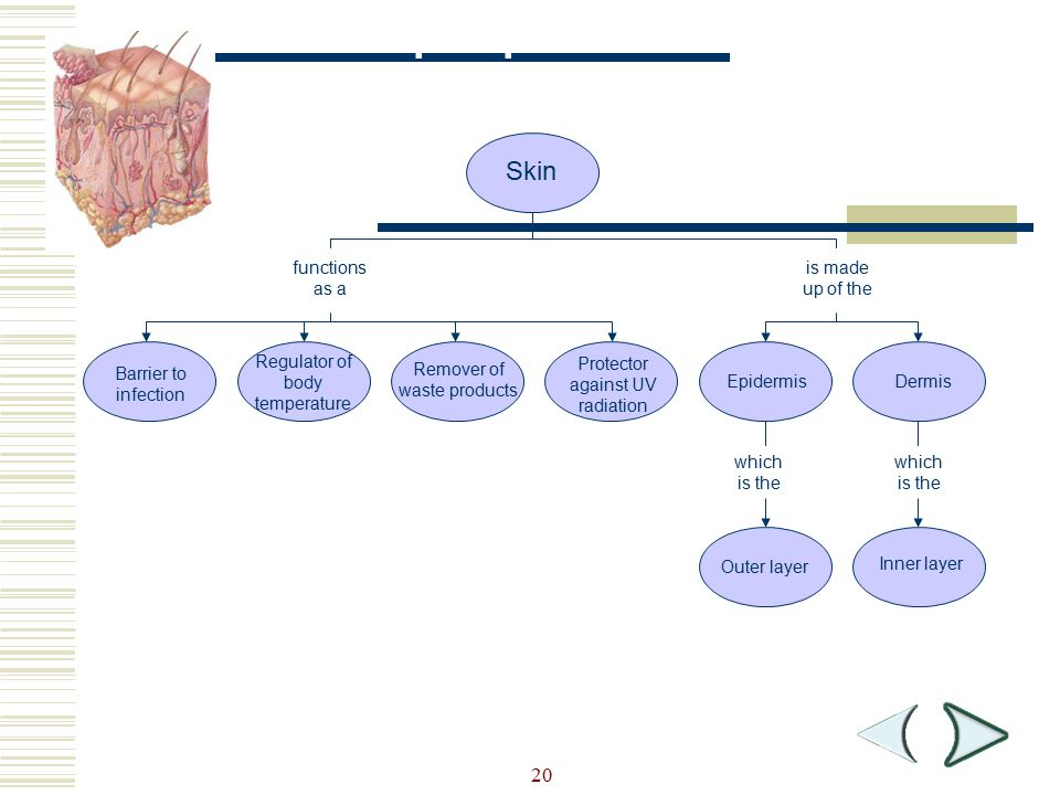 Concept Map Skin Section 36-3 20 functions as a is made up of the
