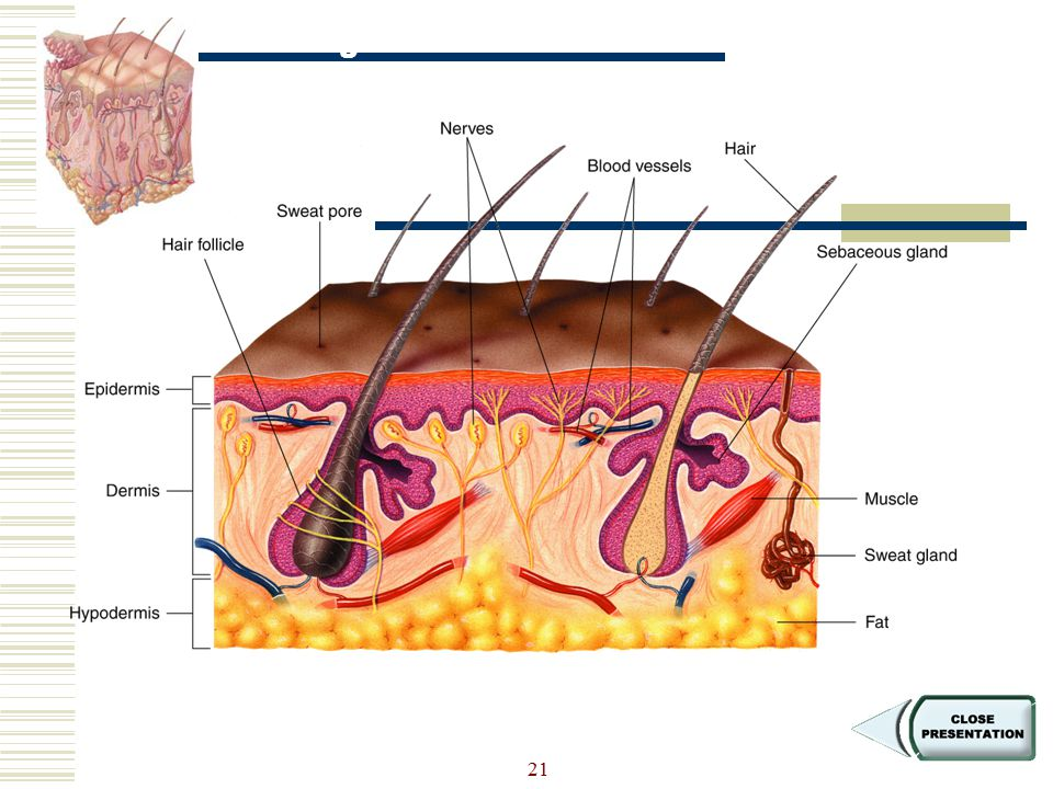 Figure 36-13 The Structure of Skin