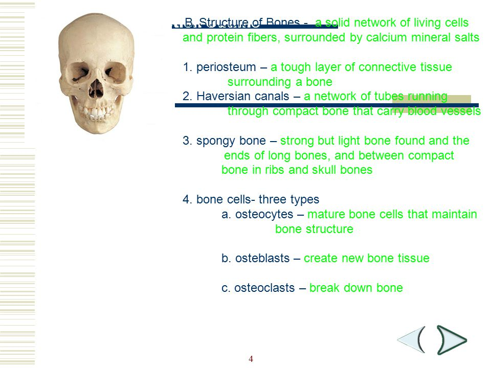 Section Outline 1. periosteum – a tough layer of connective tissue