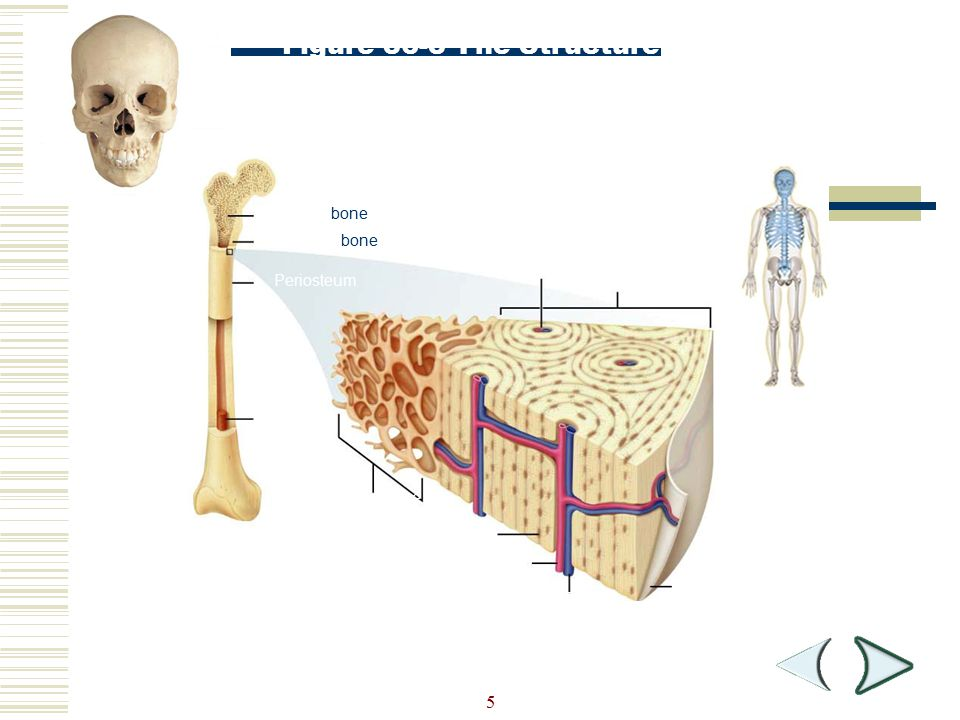 Figure 36-3 The Structure of Bone