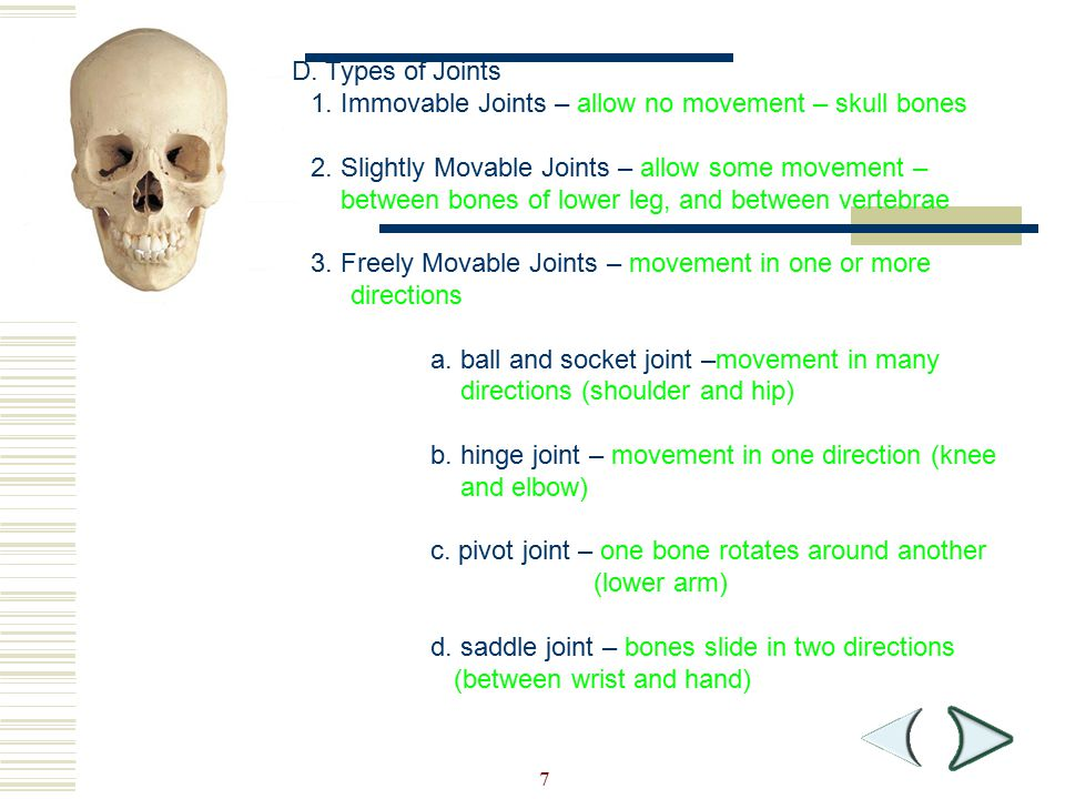 1. Immovable Joints – allow no movement – skull bones