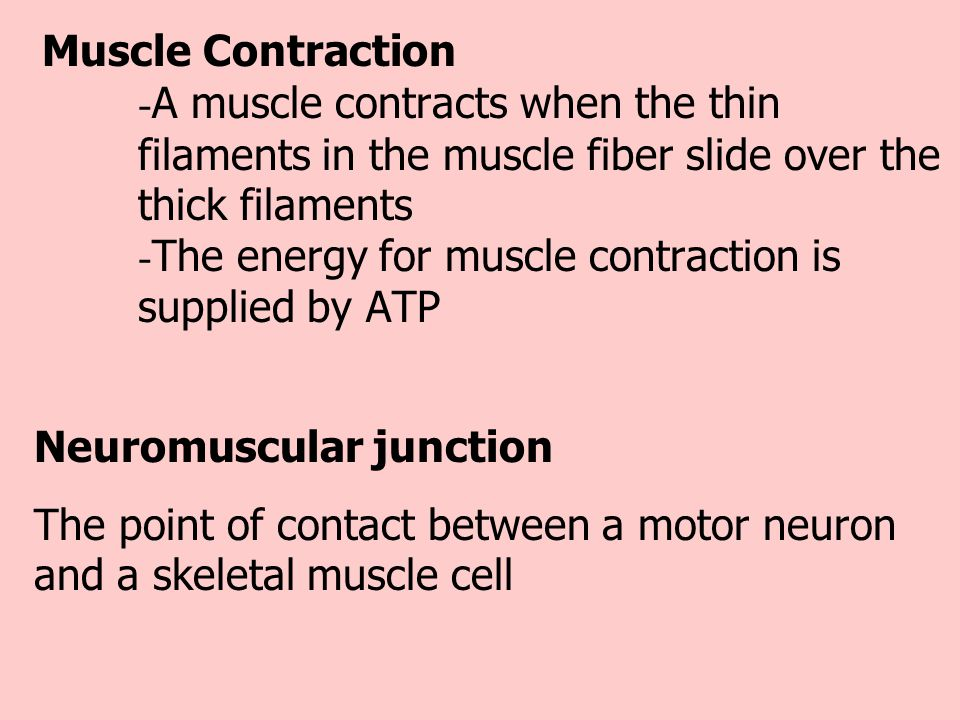 Muscle Contraction. -A muscle contracts when the thin