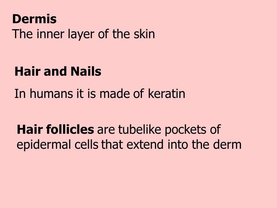 Dermis The inner layer of the skin