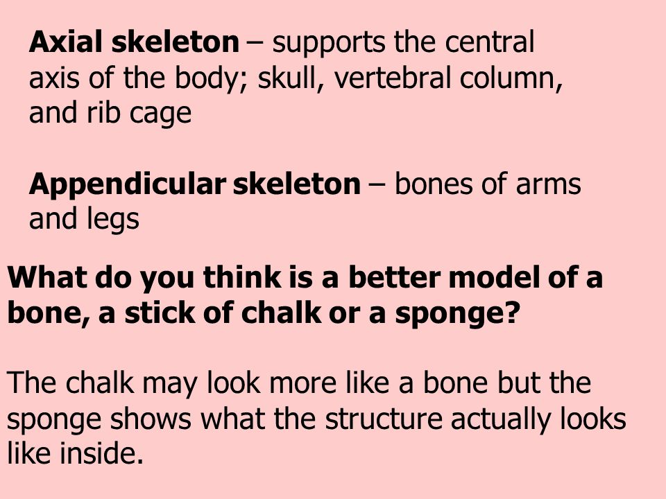 Axial skeleton – supports the central axis of the body; skull, vertebral column, and rib cage Appendicular skeleton – bones of arms and legs